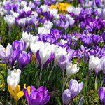 Graines de Safran, Graines de fleur de Safran, Safran Crocus Graines, CE n'est pas le Safran ampoules–10graines/sac As Show in Description 21 de la marque SVI image 2 produit